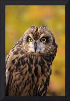 Colorado, View Of A Short Eared Owl