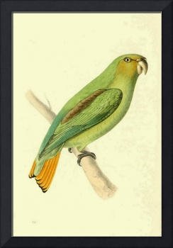 Gold Tailed Parot - PD Image