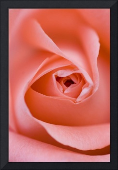 Close Up Of The Inside Of A Pink Rose