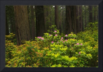 Rhodys and Redwoods