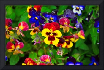 Sunset Pansy