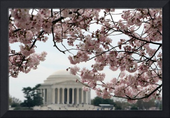 Cherry Blossom Peak Bloom Washington DC no-33