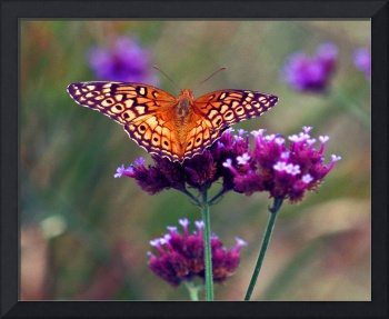 Butterfly  Variegated Fritillary