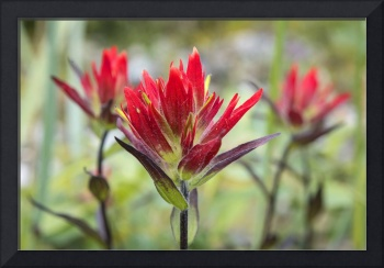 Indian Paintbrush Closeup, Reid Glacier