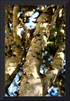 Peeling River Birch