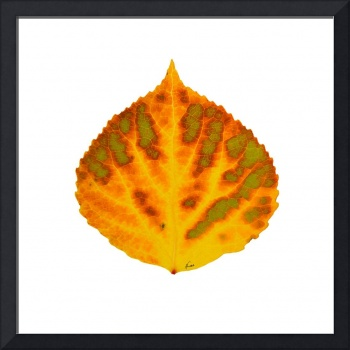 Green Orange Red and Yellow Aspen Leaf 1