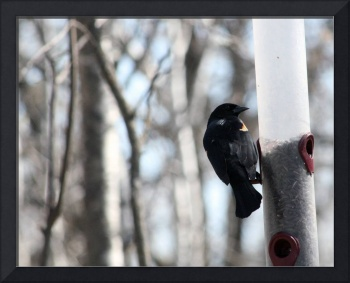 Red Winged Blackbird at a Feeder