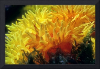 Flowers of Fire Corals