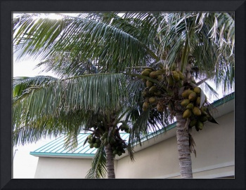A Pair of Coconut Tree's