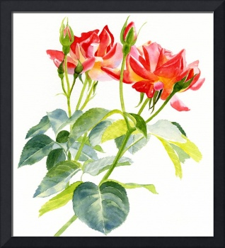 red orange rose blossoms with buds10.5 x 13