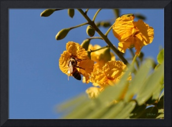 Honeybee on Orange Flowers