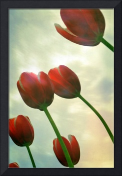 Red Tulips with Cloudy Sky