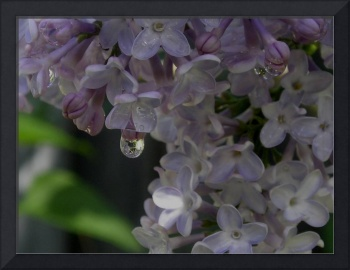 Dripping Lilac