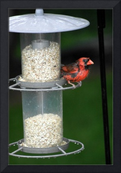 Cardinal in feeder
