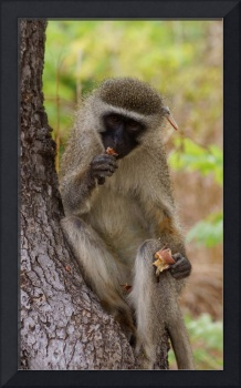 Vervet Monkey and Leaf Cricket