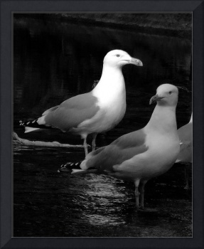 Herring Gull Portrait In Black And White