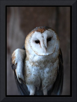 Portait of a Barn Owl