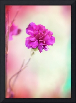 Bright pink carnation