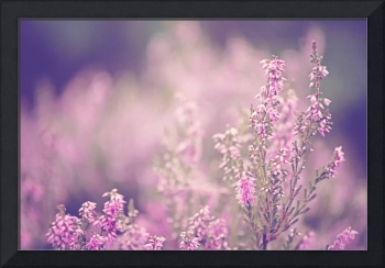 Dreamy Pink Heather