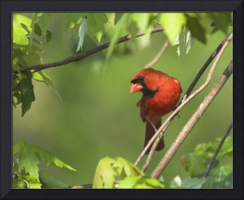 Northern Cardinal Watching from the Tree Limb
