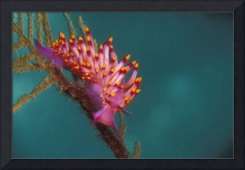 Nudibranch on Hydroid - nb100