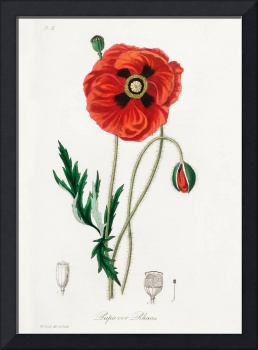 Vintage Botanical Common poppy