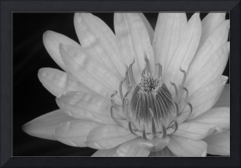 B&W Waterlily