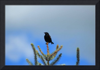 Red Winged Blackbird on a Spruce Tree