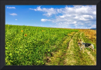 Field of sunflowers and a German shepherd