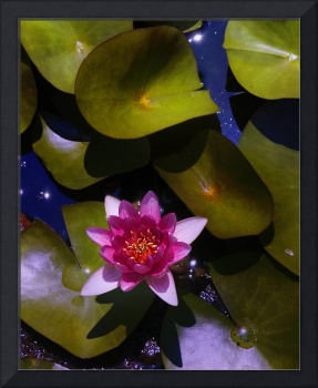 Pink Water Lily