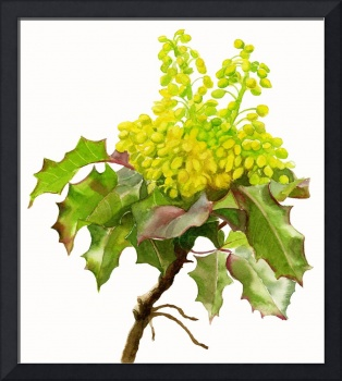 Oregon Grape White Background