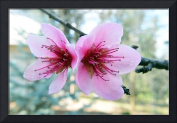 Together Once Again Nectarine Blossoms