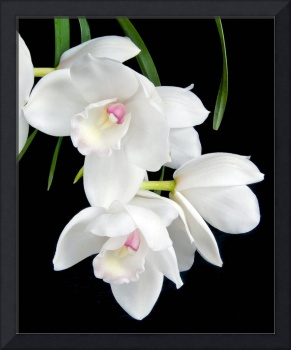 Cymbidium Orchid Lovely Angel 'The Two Virgins'