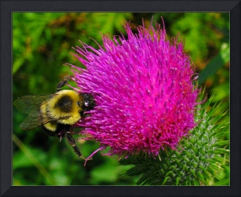 Bee on Bull Thistle