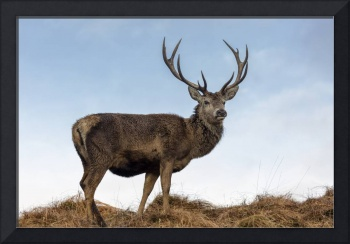 Red Deer Stag on a Hilltop