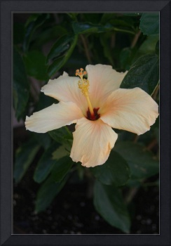 Single Cream Colored Hibiscus Blossom