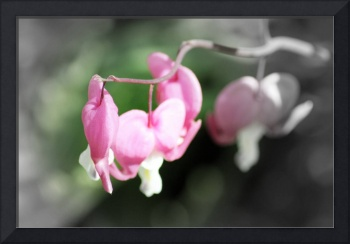 red bleeding hearts, soft background 2