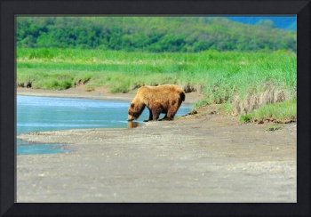 Alaskan Brown Bear Drinking From Creek
