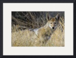 Curious Coyote by Marylynne Diggs