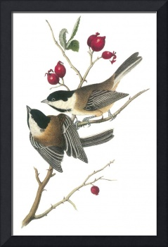 Black-Capped Chickadee Bird Audubon Print
