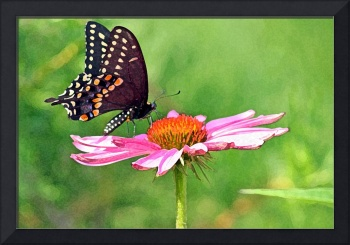 Butterfly   Black Swallowtail on Flower