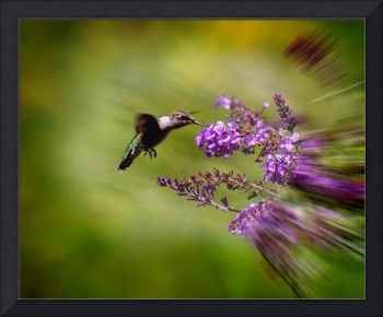 Hummingbird at Butterfly Bush