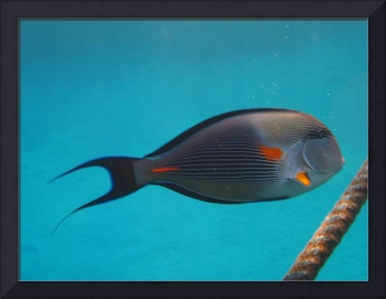 Sergeonfish with rope