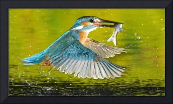 Kingfisher Bird Catches A Fish
