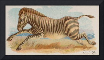 Vintage African Zebra Illustration (1890)