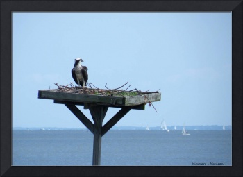 A Boat Watching Osprey