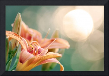 Evening Tiger Lily