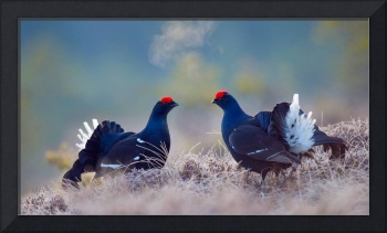 Male Black Grouse Birds, Sweden