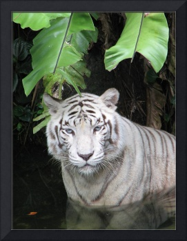 White Tiger Potrait