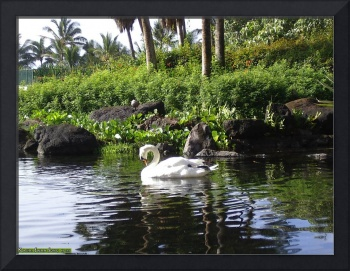Kauai Swan Song